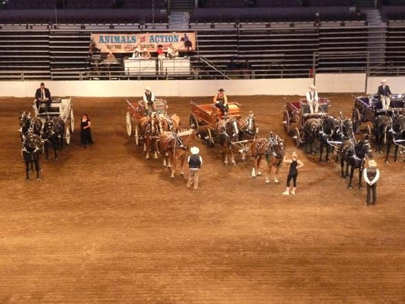 Heavy Horse Show at the Calgary Stampede.