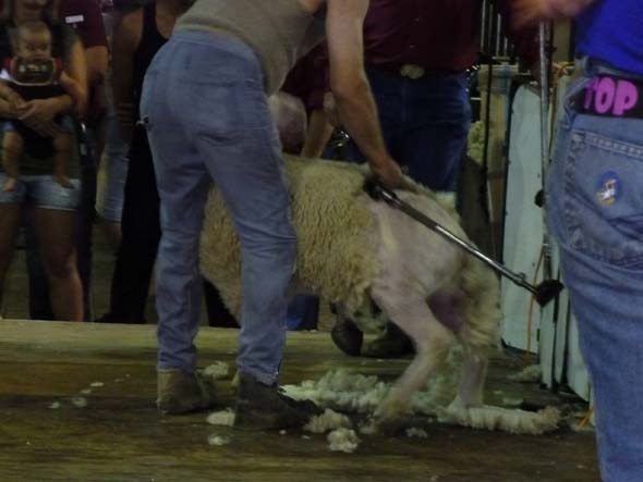 Sheep shearing contest.