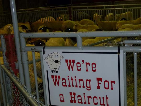 Waiting to be shaved.