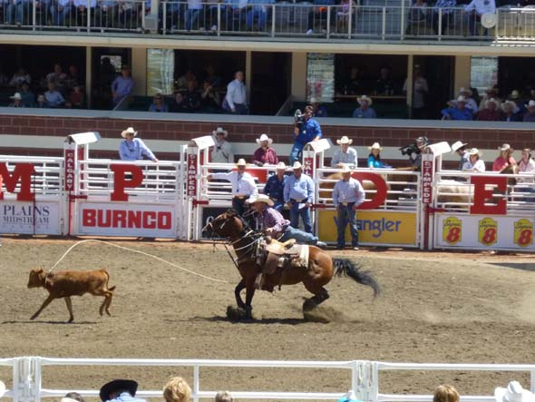 Calf Roping at the Calgary Stampede.