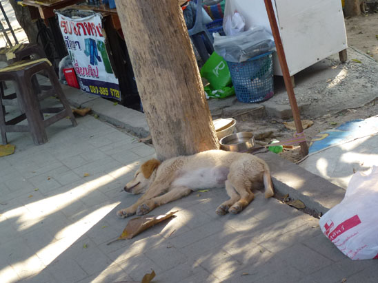 Dogs in Chiang Mai 32