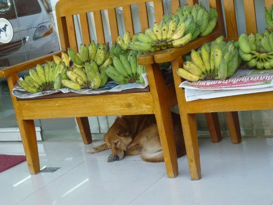 Dogs in Chiang Mai 33