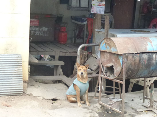 Dogs in Chiang Mai 34