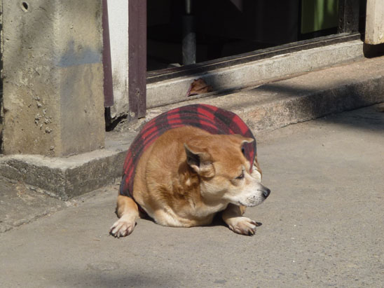 Dogs in Chiang Mai03