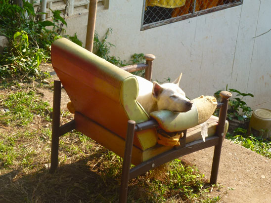 Dogs in Chiang Mai04