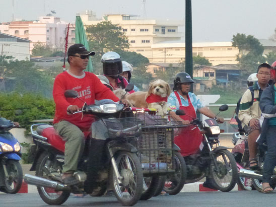 Dogs in Chiang Mai05
