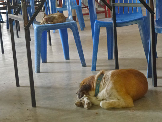 Dogs in Chiang Mai06