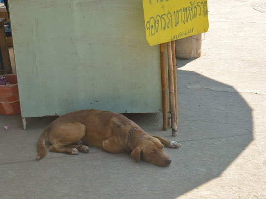 Dogs in Chiang Mai17
