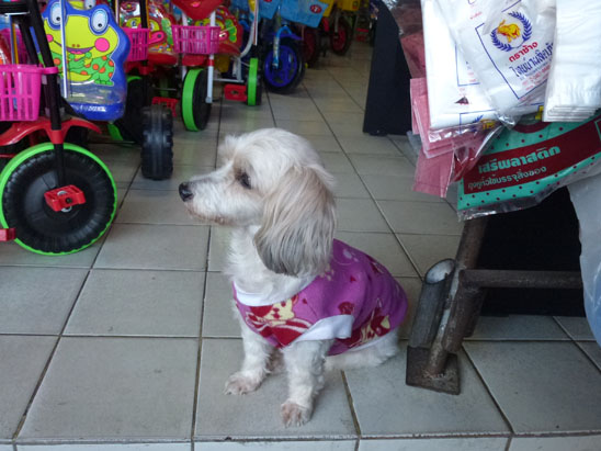 Dogs in Chiang Mai20