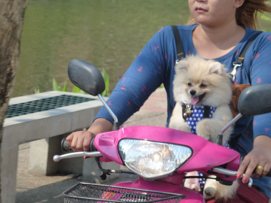 Dogs in Chiang Mai25