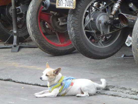 Dogs in Chiang Mai26