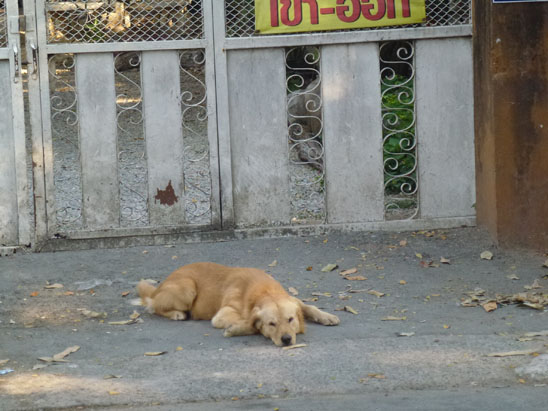 Dogs in Chiang Mai27