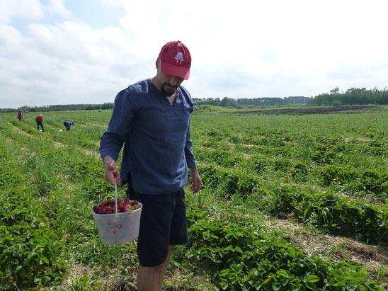 Picking Fresh Strawberries