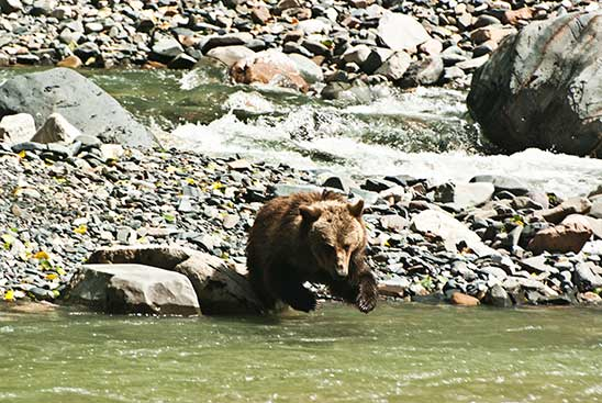 grizzly-bear-white-water-rafting-alberta